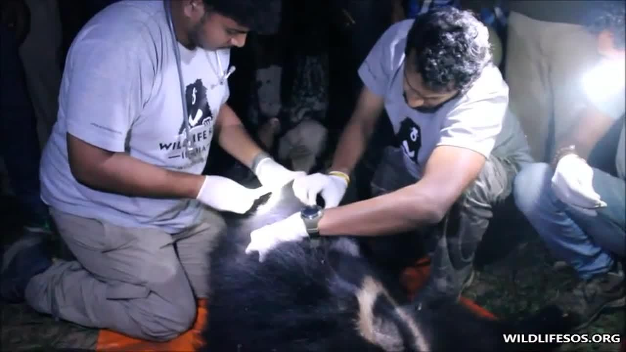 "A rescue team battled for hours to rescue a sloth bear caught in a primitive snare at Chikkaballapur forest in South India.   The deadly snare had twisted tightly around the neck, choking the bear to the brink of death.   The snare had been set by a local hunter to trap a boar but had ended up catching a sloth bear, an endangered species, with just 8,000 to 10,000 surviving members.    Local forest officials called a Wildlife SOS team to rescue the animal after spotting it the snare outside a cashew nut plantation on November 17.   The bear's futile attempts to break free had resulted in the snare tightening its grip around the bear's neck, causing it to suffocate.   The snare cables had further coiled around a branch making it difficult for the bear to even move.  The rescue team tranquilized the traumatised bear and worked for hours to gently extricate it from the metal wires that had cut into its flesh.  They shifted the animal to a nearby bear rescue centre for a more detailed examination. However, after four hours the bear succumbed from to its injuries.   Postmortem examination revealed that the bear had sustained tracheal damage due to tight snare  and had suffocated.  Kartick Satyanarayan, CEO of Wildlife SOS said: ""This is the third incident this week where a sloth bear has been found trapped in a poacher's snare and such incidents are occurring more and more frequently in Karnataka.""  Every year hundreds of wild animals – from rabbits to even tigers – succumb to traps and explosive baits in India and the deaths of a majority of these victims of go undocumented."