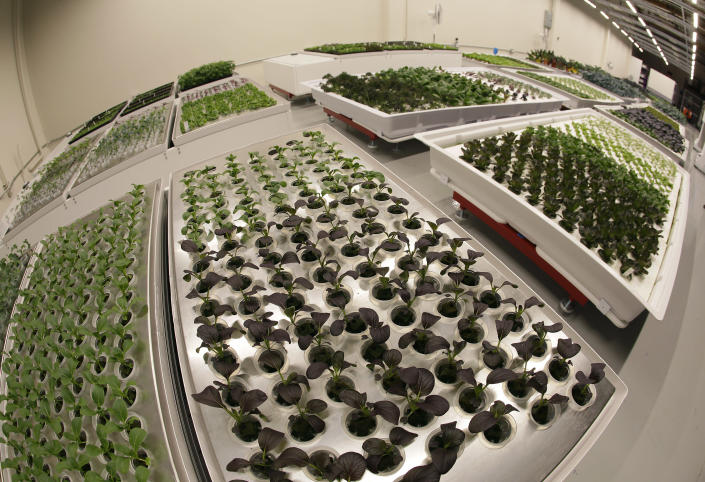 In this Thursday, Sept. 27, 2018, photo bok choy is seen growing in the foreground at Iron Ox, a robotic indoor farm, in San Carlos, Calif. At the indoor farm, robot farmers that roll maneuver through a suburban warehouse tending to rows of leafy, colorful vegetables that will soon be filling salad bowls in restaurants and eventually may be in supermarket produce aisles, too. (AP Photo/Eric Risberg)