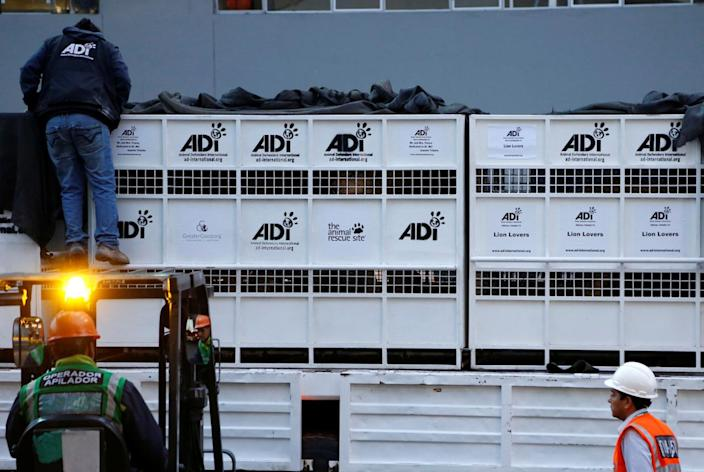 <p>Former circus lions' cages are secured for transportation to a wildlife sanctuary in South Africa on April 29, 2016. <i>(Janine Costa/REUTERS)</i></p>