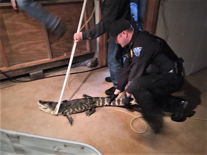 Animal rescuers restrain the alligator which had been the Ohio man's pet for 25 years.