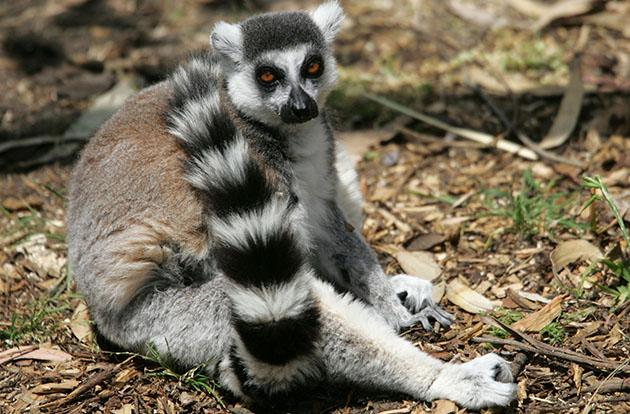 File photo of a ring-tailed lemur (Justin Sullivan/Getty Images)