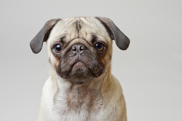 Pugs are more prone to heatstroke because as brachycephalic dogs, with short, flat faces, they can struggle to cool themselves down properly (Getty)