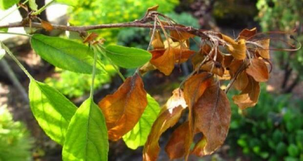 Fire blight can result in clumps of brown leaves on apple trees. (CBC - image credit)