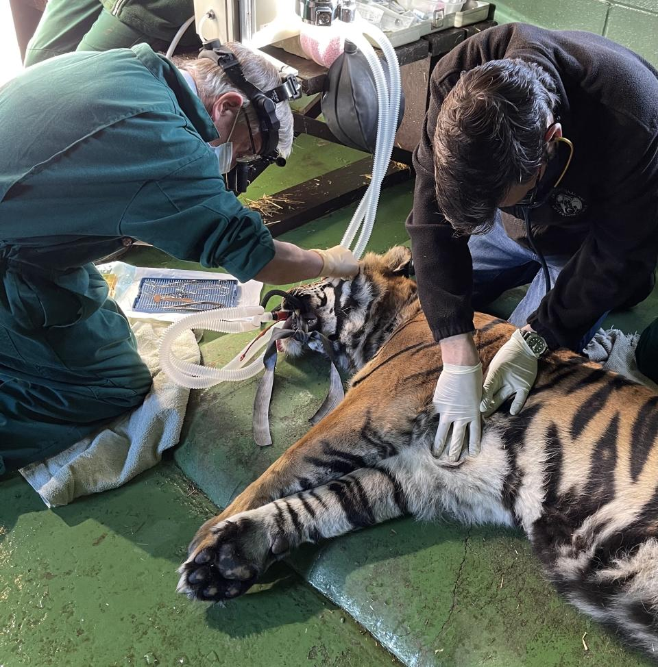 A world-first operation has seen a vet save a tiger's EYE - after the big cat developed an ulcer on its cornea. Sumatran tiger Ratna underwent the 30-minute procedure in February, in what is believed to be the first-ever attempt by a vet to carry out the surgery on her species. (SWNS)
