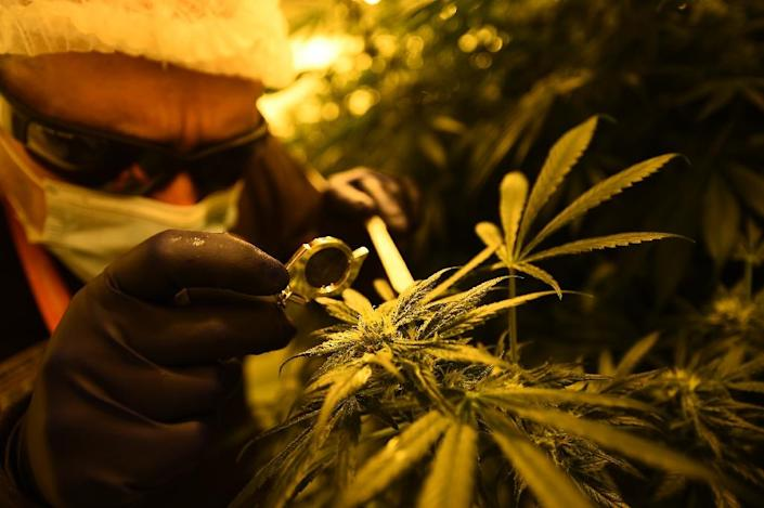 Argentina is set to join Uruguay, Colombia, Chile and Mexico in legalizing medical marijuana (AFP Photo/FILIPPO MONTEFORTE)