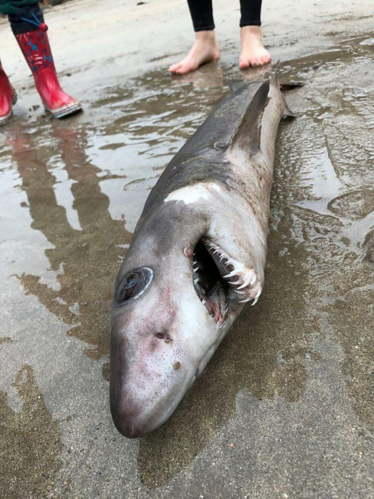 A rare species of shark usually found around Brazil and Australia has been found on UK coastline for the first time in history.