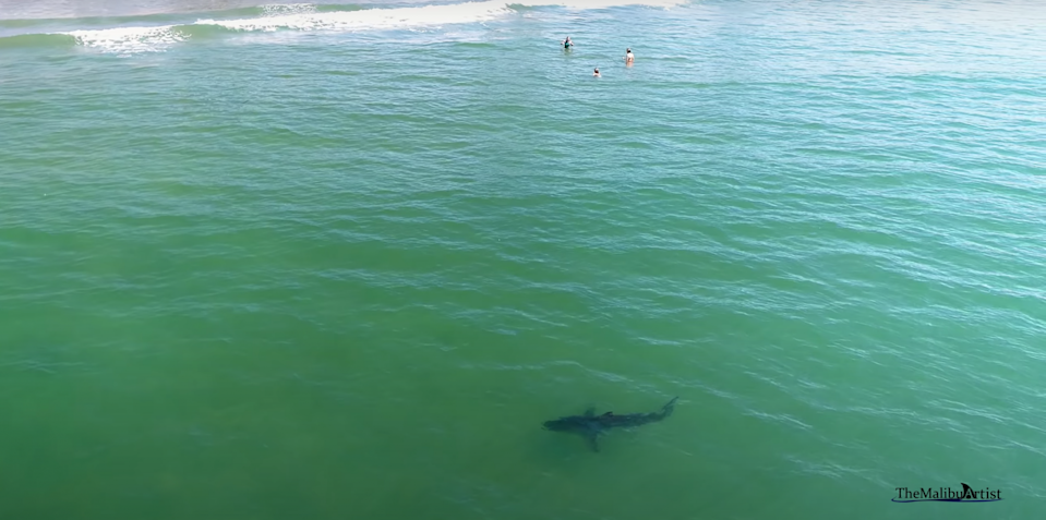 A drone photographer has captured multiple instances of juvenile white sharks swimming near people in Malibu, CA, and each one is nerve-racking to watch.