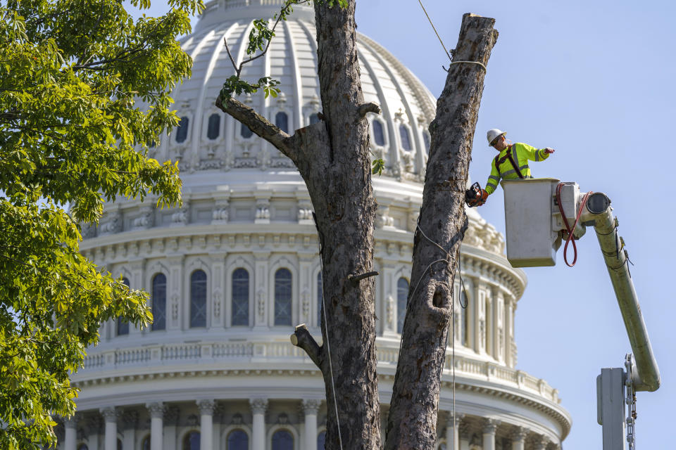A dead Elm tree is removed on the West Front of the Capitol in Washington, Friday, Sept. 10, 2021. (AP Photo/J. Scott Applewhite)