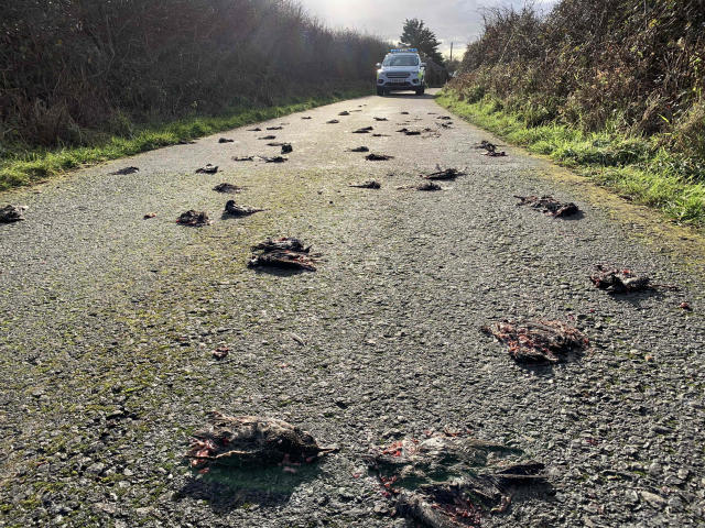 More than 300 starlings are believed to have dived down to dodge the predator but failed to fly back up in time in Anglesey, Wales (PA)