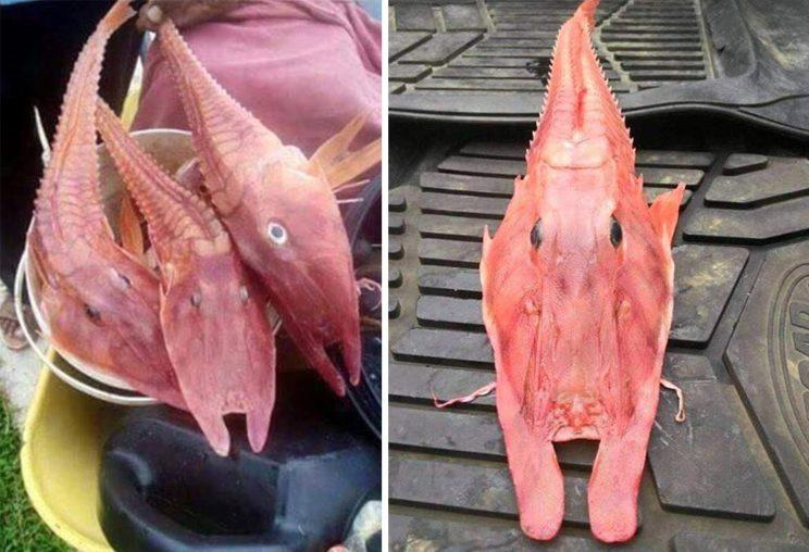 The fish was identified as an armoured sea robin (Facebook)