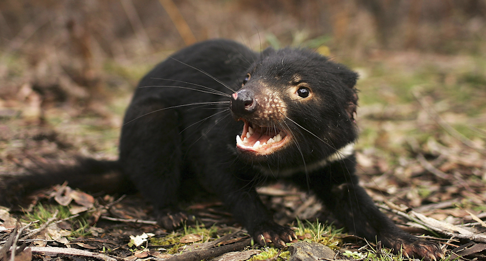 Tasmanian devils are one of the rare and endangered species living within the Tarkine. Source: Getty