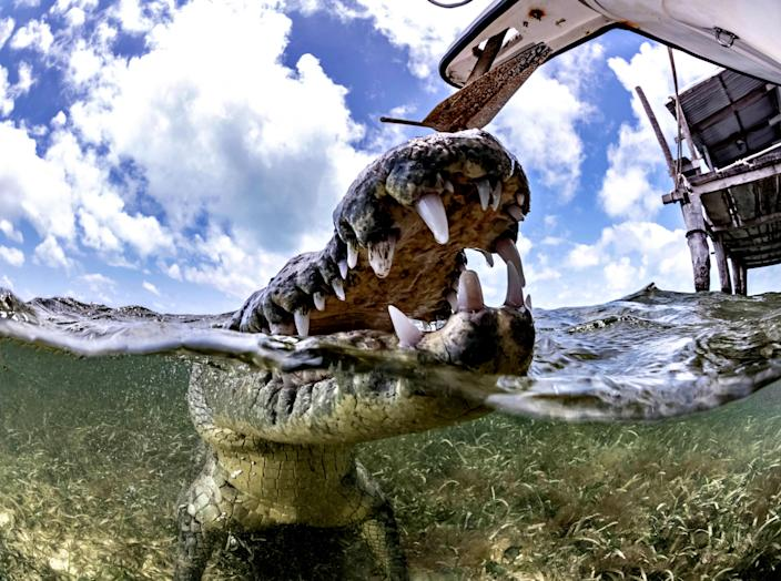 <p>A photographer with a passion for wild animals was able to get up close and personal with one of nature's deadliest creatures. (Photo: Alex Suh/Caters News) </p>