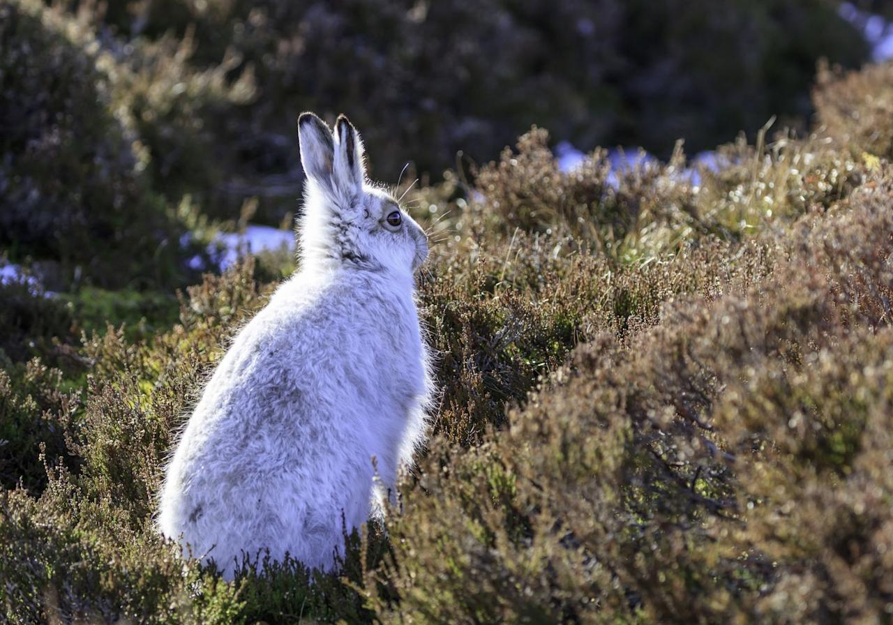 <p>A true winter spectacle, mountain hares shed their brown fur in late November, turning their coats a blueish-white until April. This makes them much easier to spot running in the fields, especially to predators like Golden Eagles.</p><p><strong>Where to spot them: </strong>The Peak District and Upper Pennines in England, Snowdonia in Wales and the Scottish Highlands.</p>