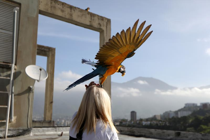 A macaw takes off from Carmen Borges' head at a rooftop of a building in Caracas, Venezuela, June 12, 2019. (Photo: Manaure Quintero/Reuters)