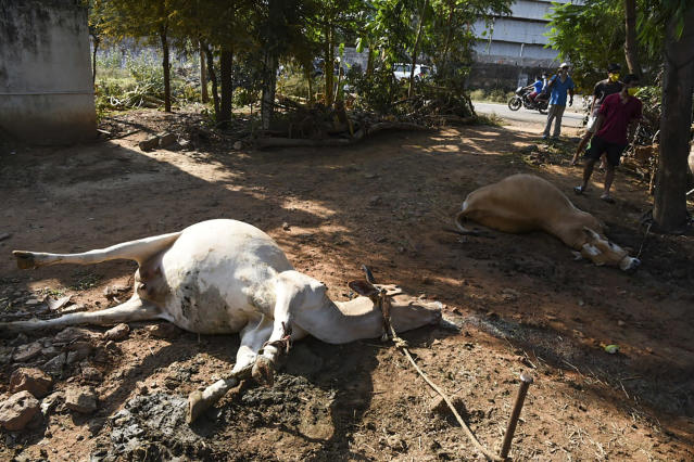 EDITORS NOTE: Graphic content / People stand near dead cows laying on the ground following a gas leak incident from an LG Polymers plant in Visakhapatnam on May 7, 2020. - At least five people have been killed and several hundred hospitalised after a gas leak at a chemicals plant on the east coast of India, police said on May 7. They said that the gas had leaked out of two 5,000-tonne tanks that had been unattended due to India's coronavirus lockdown in place since late March. (Photo by - / AFP) (Photo by -/AFP via Getty Images)