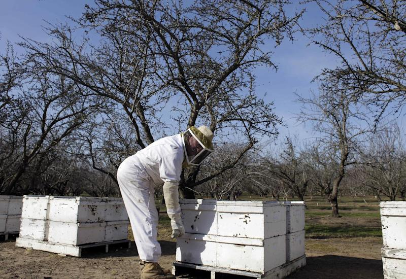 Neil Trent pries opens a bee hive for inspection in an almond orchard Tuesday, Feb. 12, 2013, near Turlock, Calif. Trent, who works for Bakersfield-based Scientific Ag Co., says some bee hives in the state have weak colonies of bees, spelling a bee shortage in time for almond bloom. (AP Photo, Gosia Wozniacka)