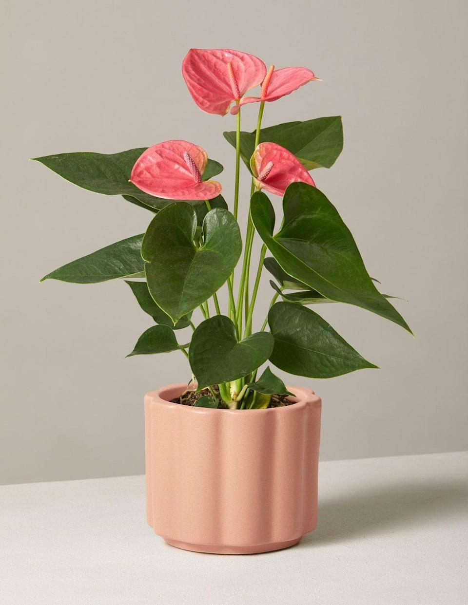 <p>This <span>The Sill Pink Anthurium</span> ($68) is such a fun, unique gift.</p>