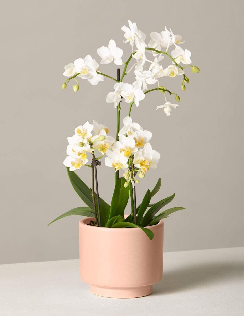 <p>This <span>The Sill White Orchid</span> ($98) is a classic gift they'll cherish forever.</p>