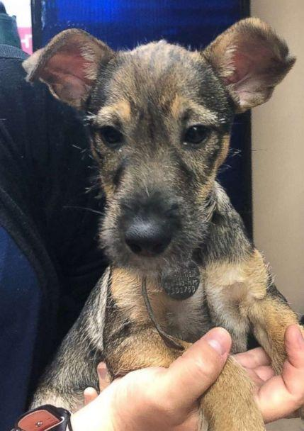 PHOTO: Barnaby, a Schnauzer-Shepherd mix rescued from Tennessee, pictured in an undated handout image, is available for adoption from the North Shore Animal League. (Courtesy North Shore Animal League)