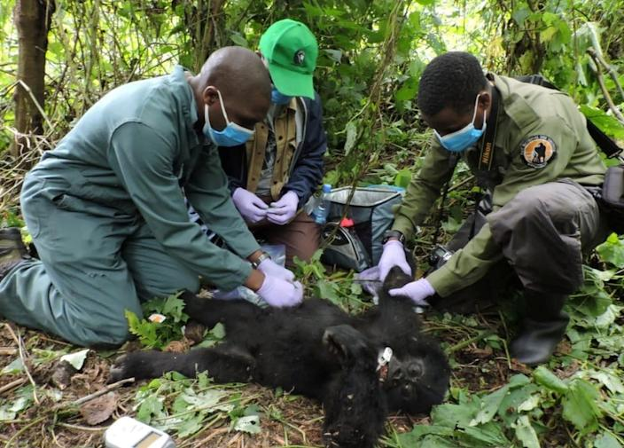 Vets and park rangers remove a poacher's snare from the hand of a baby Gorilla in Virunga National Park, in the Democratic Republic of Congo, on Wednesday.
