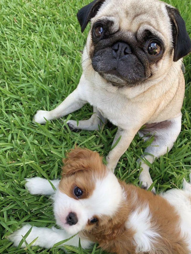 Bindi Irwin and Chandler Powell's new puppy named Piggy with Stella the pug.