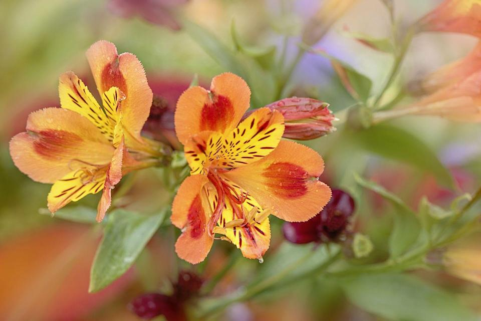 """<p>Typically called Peruvian lilies, they come in bright colors like pink, orange, and purple. Alstroemerias easy to grow and don't require a ton of care. Great for flower bouquets, they last up to two weeks once cut. </p><p><strong>Bloom season</strong>: Summer</p><p><a class=""""link rapid-noclick-resp"""" href=""""https://www.mercato.com/item/alstroemeria/692674"""" rel=""""nofollow noopener"""" target=""""_blank"""" data-ylk=""""slk:SHOP ALSTROEMERIAS"""">SHOP ALSTROEMERIAS </a></p>"""