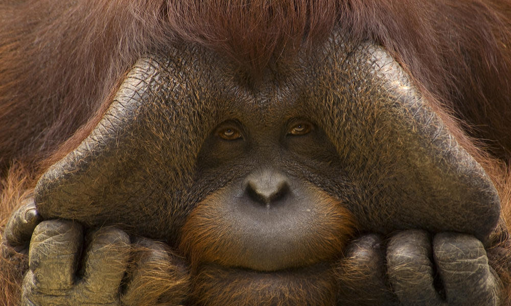 <p>Bornean orangutan populations have declined by more than 50% over the past 60 years. (Photo: WWF) </p>