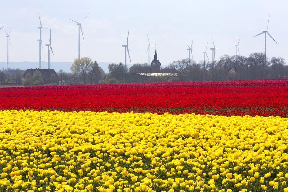 Fields appear to be dusted with gold and rubies as yellow and red tulips blossom in Germany.