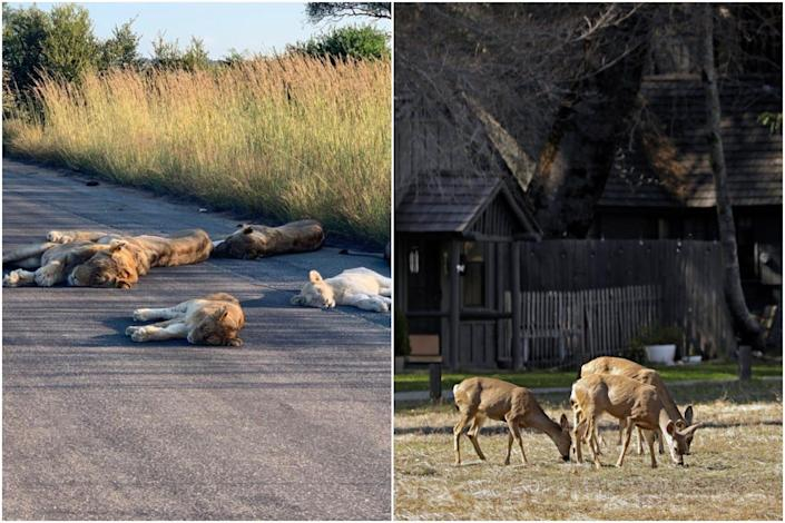 A composite image of lions napping on a street in South Africa and deer feeding in Yosemite Valley in April 2020.