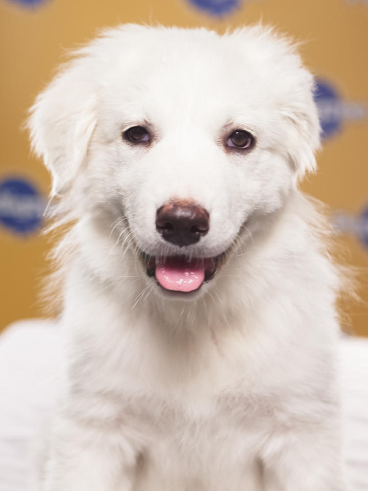 Name: JuniperBreed(s): Great PyreneesSex: FemaleAge: 12 weeksFun Fact: Is both a lover AND a fighterAdoption Organization: Big Fluffy Dog Rescue