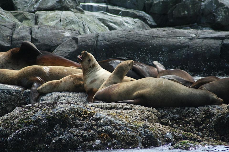 <p>A group of sea lions napped and played on the rocky shore. </p>