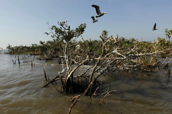 Pelicans are seen flying over mangrove isolated in the water near a the heavily eroded shoreline of Cat Island in Barataria Bay in Plaquemines Parish, La., Wednesday, April 11, 2012. (AP Photo/Gerald Herbert)