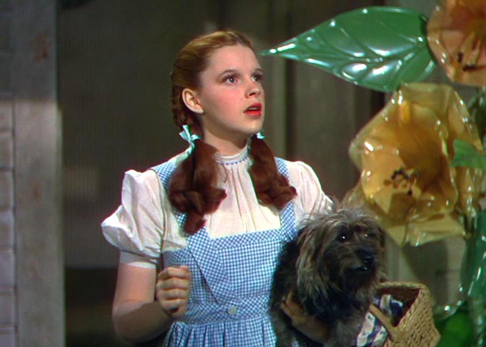 Toto – real name Terry – was glued to Judy Garland's Dorothy in 'The Wizard of Oz'Mgm/Kobal/Shutterstock