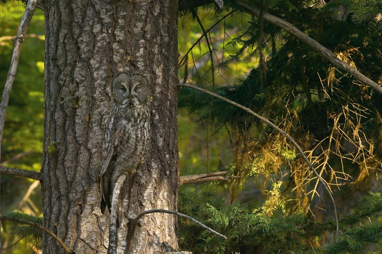 A Great Gray Owl positions itself in front of a similar pattern to take advantage of his camouflage in Oregon, United States