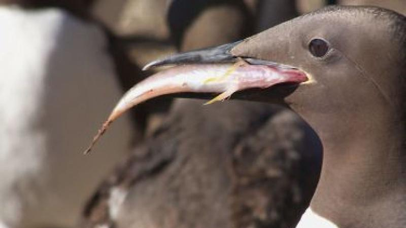 The murre is a common fish-eating bird. Pic: University of Washington
