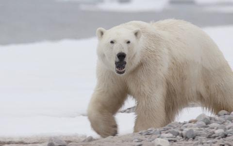 Rosie Gloyns encountered the polar bear while filming a nature documentary in Greenland - Credit: True to Nature