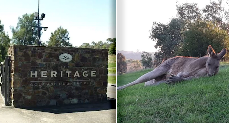 Heritage say they will no longer cull the kangaroos living around their course. Source: Supplied