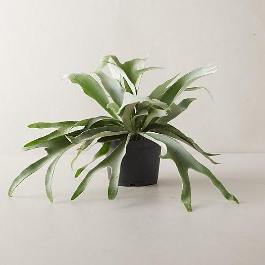 """<h3><h2>Staghorn Fern</h2></h3><br><strong>Why She'll Love It</strong><br>Described as, """"one of the more unusual house plants,"""" this tropical fern found in Southeast Asia and Australia is not your average houseplant for not-your-average-mom.<br><br><strong>Care</strong><br>Said to thrive in areas with higher levels of light while little water and a temperate climate.<br><br><em>Shop</em><strong><em> <a href=""""https://amzn.to/324tTWt"""" rel=""""nofollow noopener"""" target=""""_blank"""" data-ylk=""""slk:Hirt's Garden"""" class=""""link rapid-noclick-resp"""">Hirt's Garden</a></em></strong><br><br><strong>Hirt's Garden</strong> Staghorn Fern 6.5"""" Hanging Plant, $, available at <a href=""""https://amzn.to/3fYAj1y"""" rel=""""nofollow noopener"""" target=""""_blank"""" data-ylk=""""slk:Amazon"""" class=""""link rapid-noclick-resp"""">Amazon</a>"""