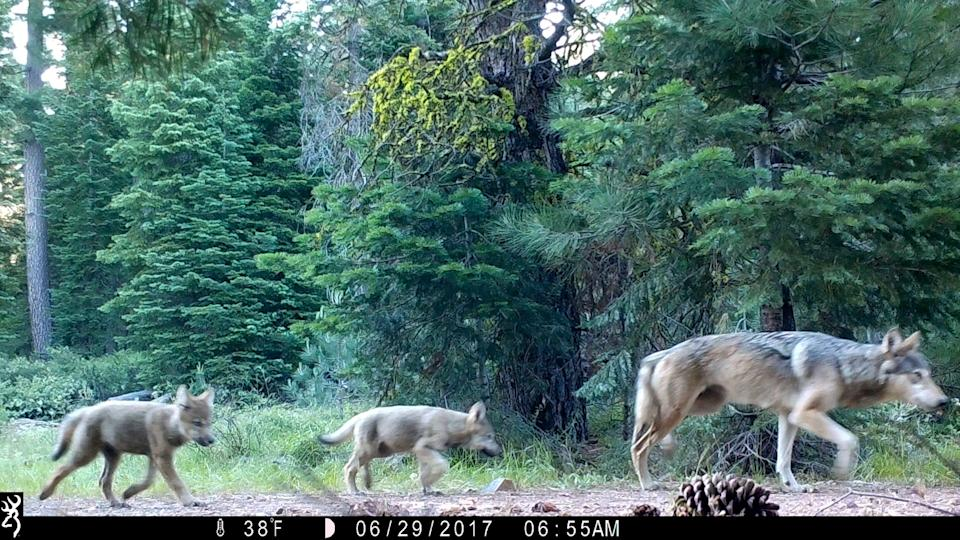 The gray wolf has rebounded to a population of more than 6,000.