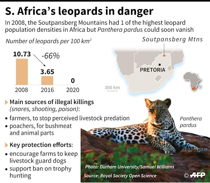 Graphic illustrating the decline of the leopard in South Africa and efforts to save the animal as well as protecting farmers (AFP Photo/-, -)
