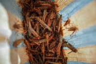 A farmer's daughter shows locusts she caught to be sold as poultry feed to a local vendor in Elburgon, in Nakuru county, Kenya Wednesday, March 17, 2021. It's the beginning of the planting season in Kenya, but delayed rains have brought a small amount of optimism in the fight against the locusts, which pose an unprecedented risk to agriculture-based livelihoods and food security in the already fragile Horn of Africa region, as without rainfall the swarms will not breed. (AP Photo/Brian Inganga)