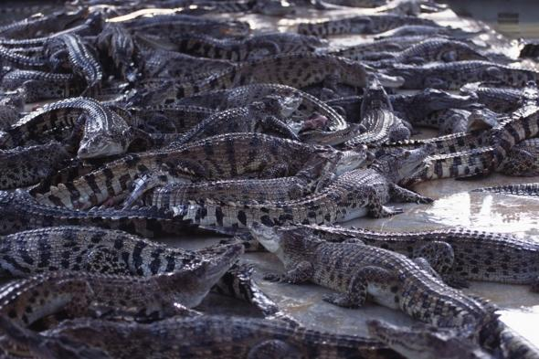 Woman dies after jumping into crocodile pit at Thailand zoo