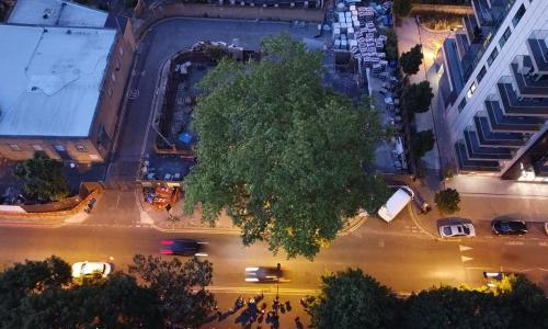 Tree of the week: 'Seeing a flautist play in this plane tree was quite unusual'