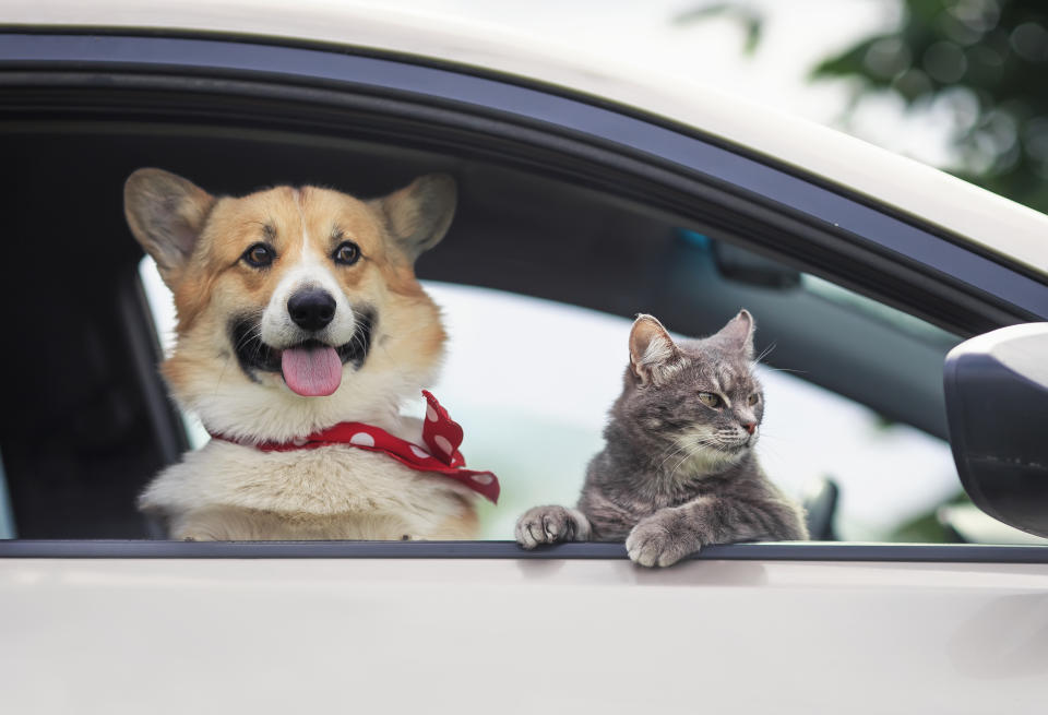 corgi puppy and a cute tabby cat stuck their muzzles and paws out of the car window during a summer trip