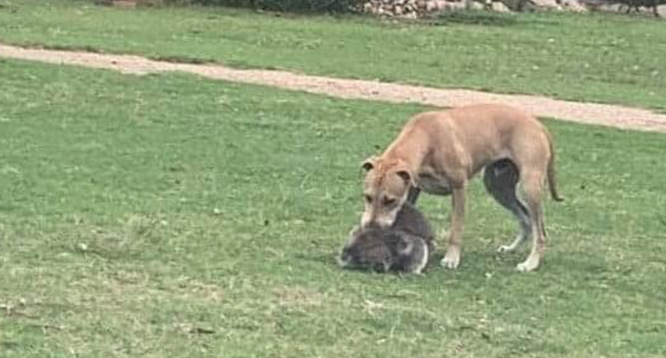 A large dog standing over a koala, appearing to bite it.