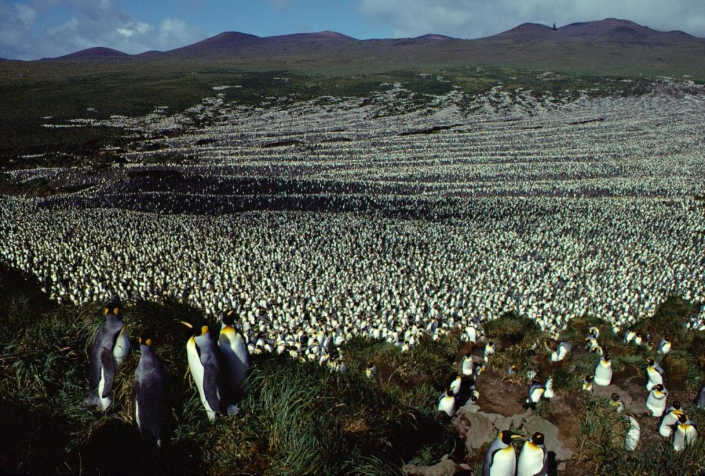 The last time scientists set foot on France's remote Ile aux Cochons -- roughly half way between the tip of Africa and Antarctica -- the island was blanketed by two million of the flightless birds, which stand about a metre (three feet) tall (AFP Photo/Henri WEIMERSKIRCH)