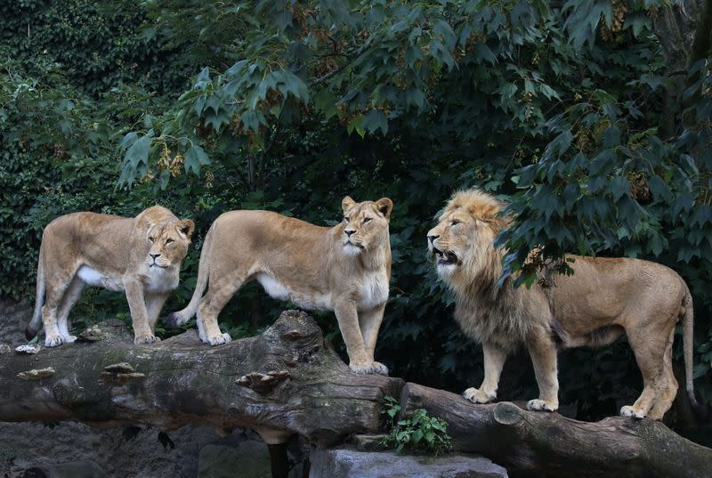 Lions are seen in their counpound at the Artis Amsterdam Royal Zoo