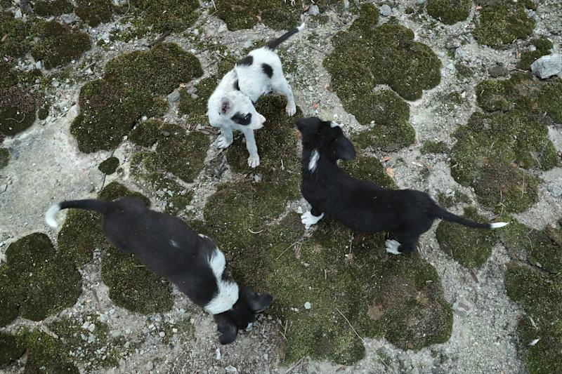 Stray puppies play among moss in an abandoned, partially-completed cooling tower inside the exclusion zone at the Chernobyl nuclear power plant on August 18, 2017.