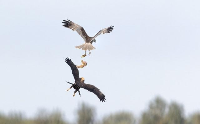 A marsh harrier male parent passing food to a juvenile