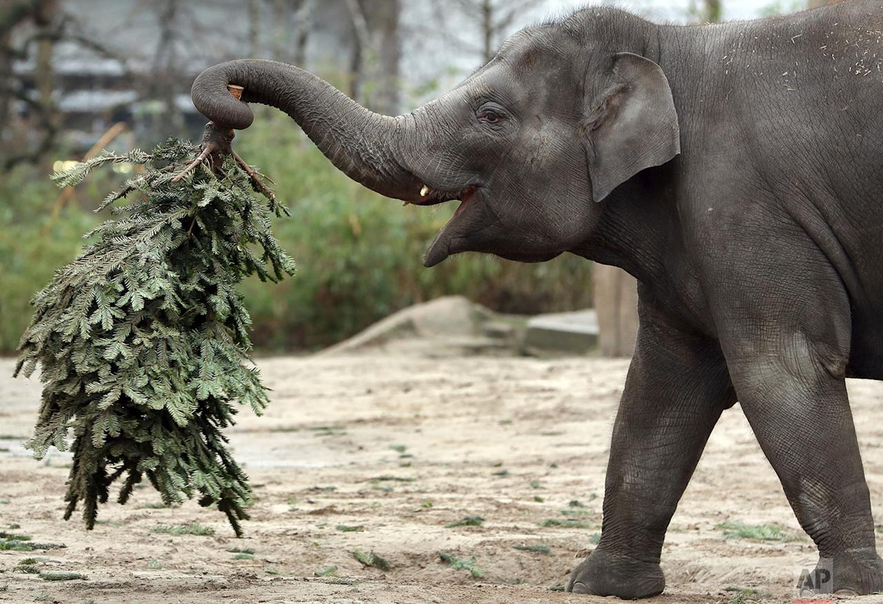 <p>Elephant 'Anchali' lifts a Christmas tree at its enclosure at the zoo in Berlin, Germany. Every year discarded Christmas trees are offered to the elephants as a snack. (AP Photo/Michael Sohn) </p>
